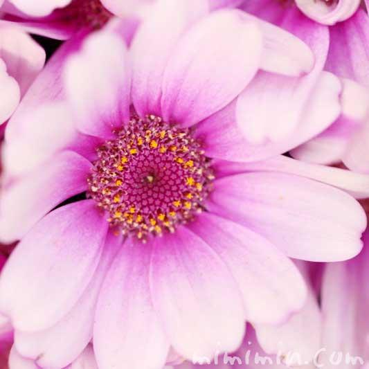赤紫のオステオスペルマム・アフリカンデージーの花の写真 花言葉