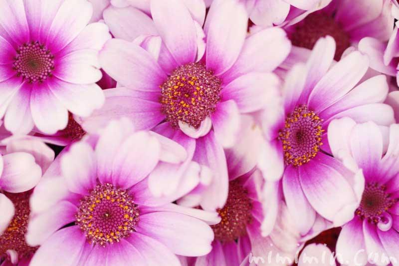 オステオスペルマム・アフリカンデージーの写真&花言葉の画像