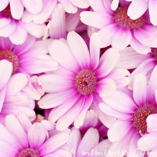赤紫のオステオスペルマム・アフリカンデージーの花の写真と花言葉の画像