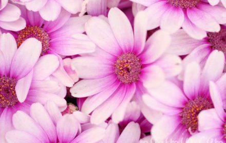 オステオスペルマム・アフリカンデージーの花の写真と花言葉