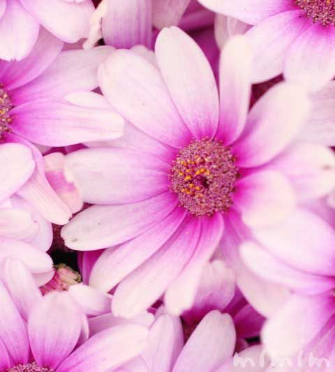 オステオスペルマム・アフリカンデージー(花の写真&花言葉)