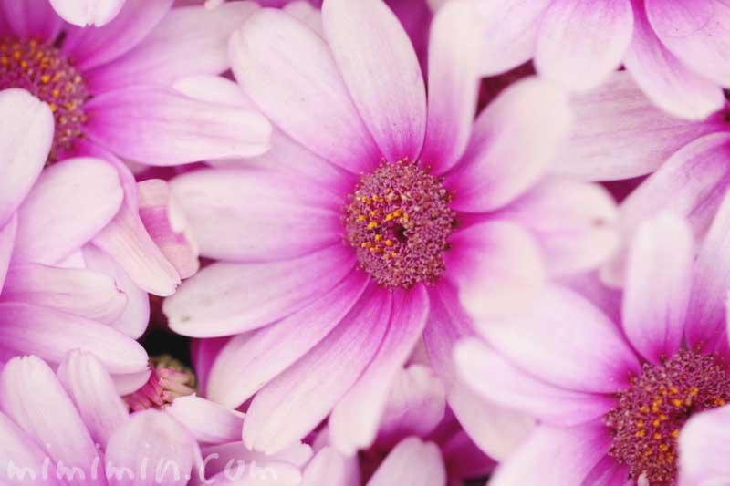 オステオスペルマム・アフリカンデージーの花の写真&花言葉の画像