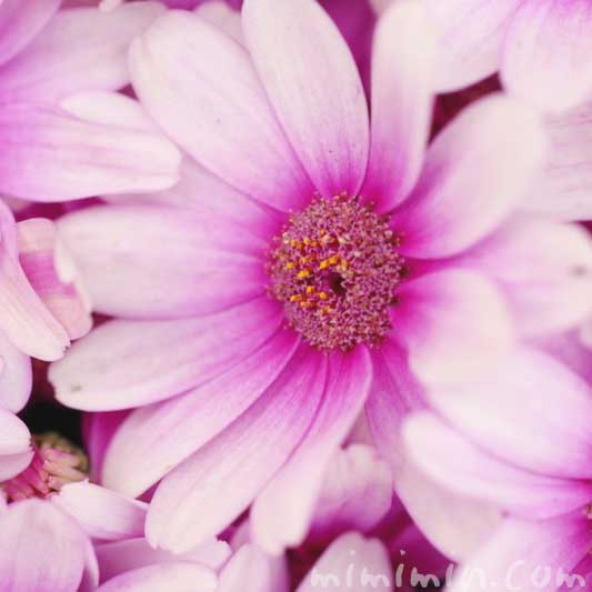 赤紫のオステオスペルマム・アフリカンデージーの写真 花言葉