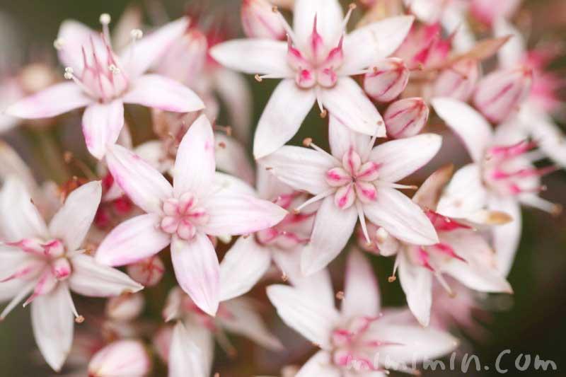 金のなる木の花の写真と花言葉(金運アップの観葉植物)の画像