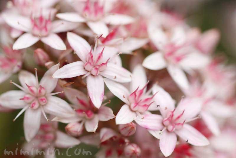 金のなる木の花言葉(金運アップの観葉植物)