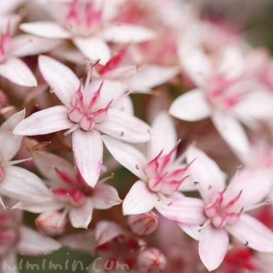 カネノナルキの写真 花言葉(金運アップの観葉植物)の画像
