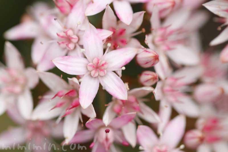 金のなる木の花言葉 金運アップの観葉植物の画像