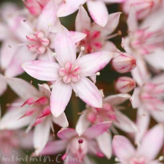 カネノナルキの花の写真 花言葉(金運アップの観葉植物)