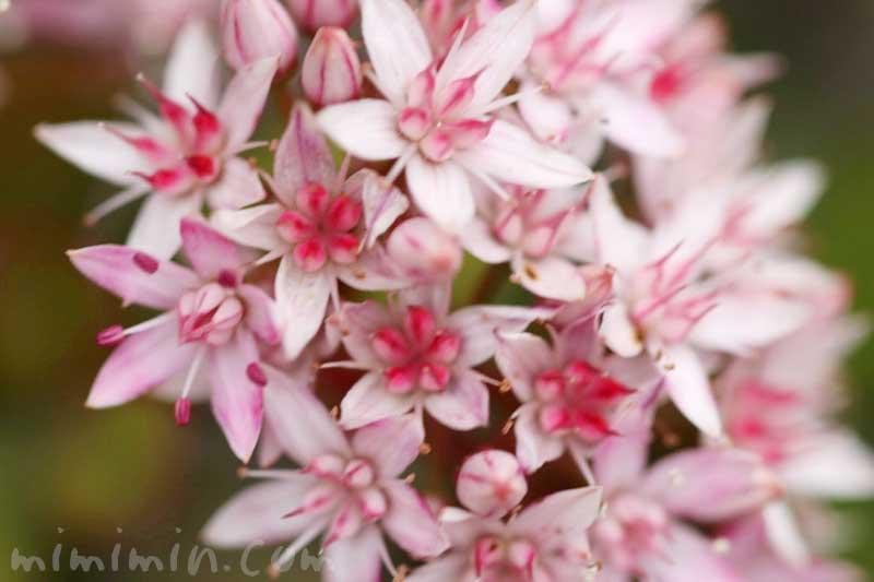 カネノナルキの花言葉|金運アップの観葉植物の画像