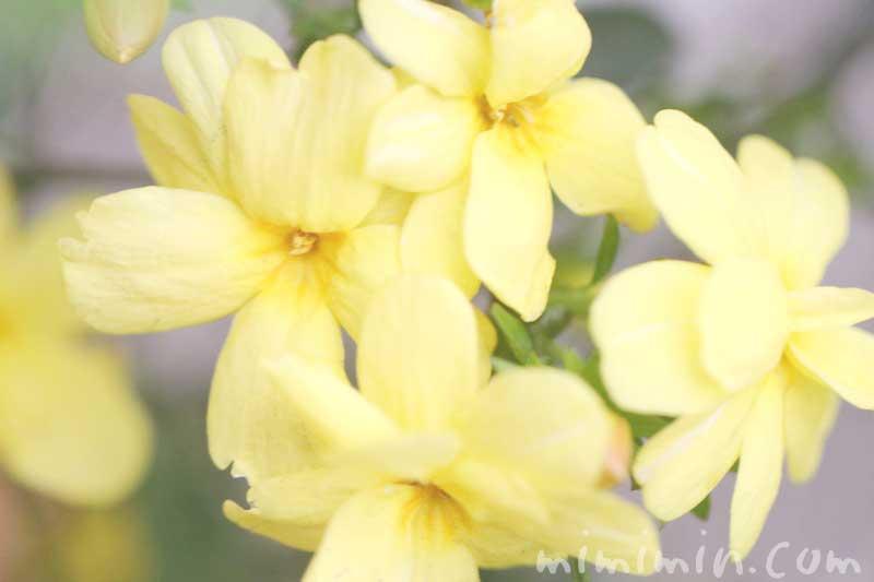 黄梅の花の写真&花言葉の画像