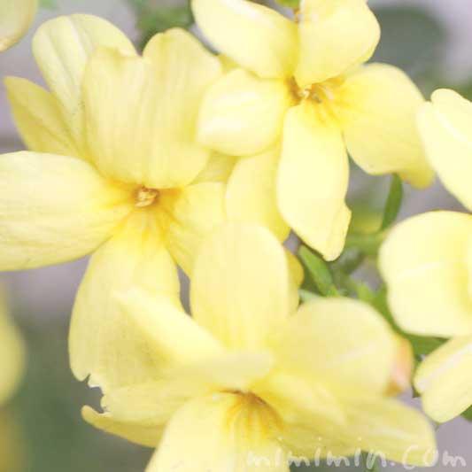 オウバイ(花の写真&花言葉)の画像