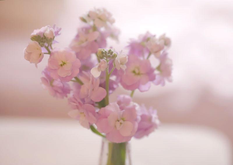 ストックのピンク色の花 3月の画像