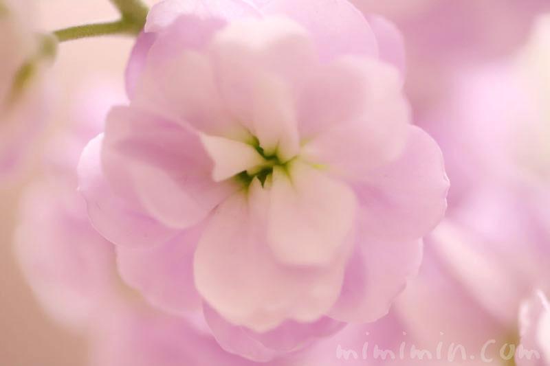 ストックの花 3月の写真