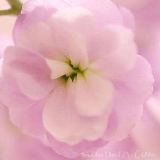 ストックのピンクの花の写真