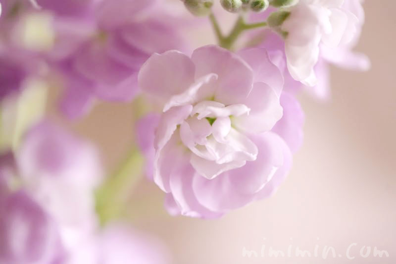 ストックの薄紫の花 3月の画像