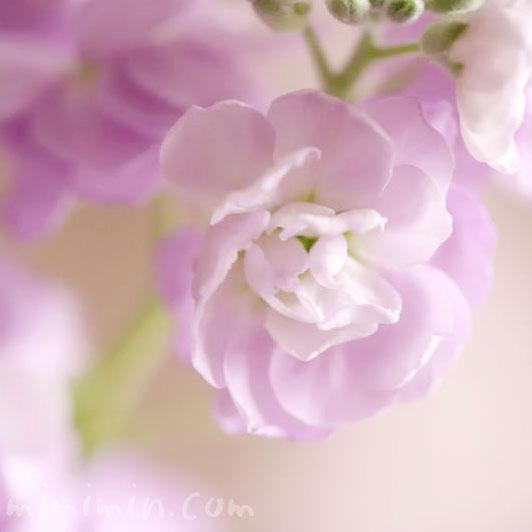 ストックのピンク色の花の画像