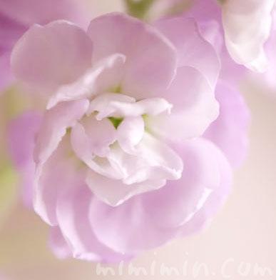 ストックのピンク色の写真