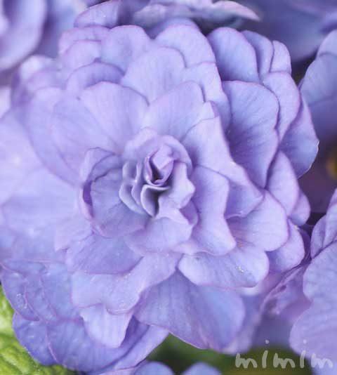 プリムラの花言葉・プリムラ ベラリーナの花の写真