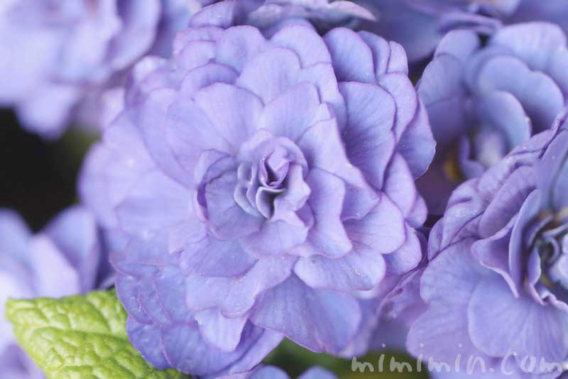 プリムラ ベラリーナの花の写真