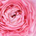 ラナンキュラス(ピンク)花の写真・花言葉・誕生花の画像