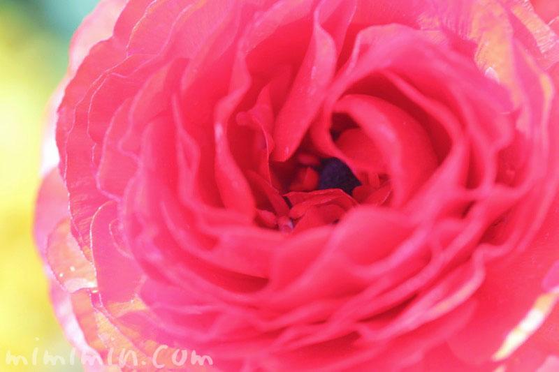赤いラナンキュラスの花の写真・花言葉・毒性の画像