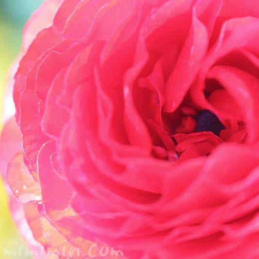 赤いラナンキュラスの写真・花言葉・毒性の画像
