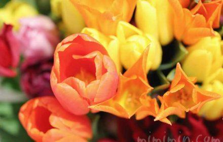 オレンジ色と黄色のチューリップの花の画像
