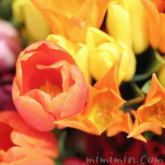チューリップ|オレンジ色と黄色