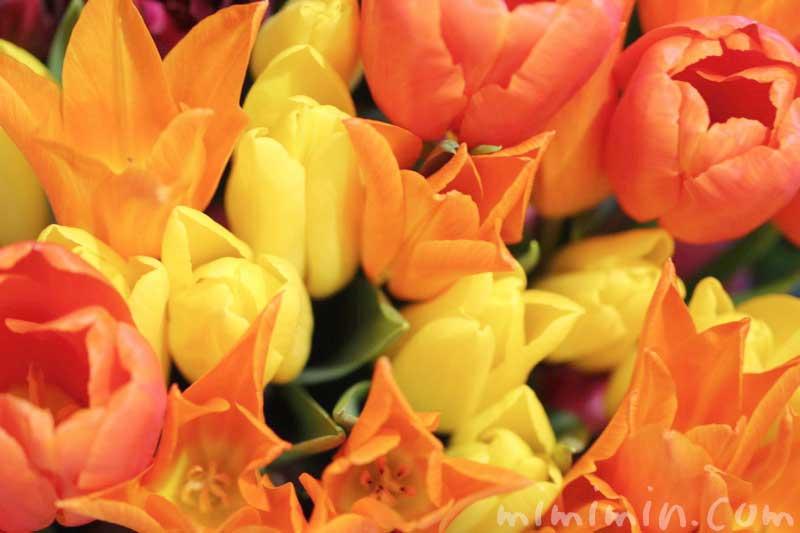 オレンジ色と黄色のチューリップの花|となみチューリップフェアin恵比寿三越の画像