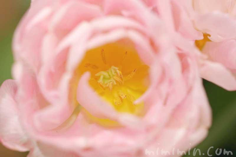 八重咲きチューリップの花の画像