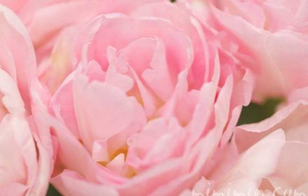 八重咲きのチューリップ