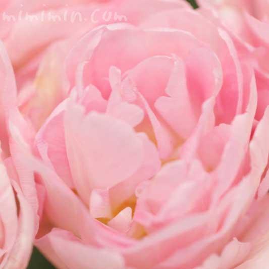 八重咲きのチューリップの花 ピンクの画像