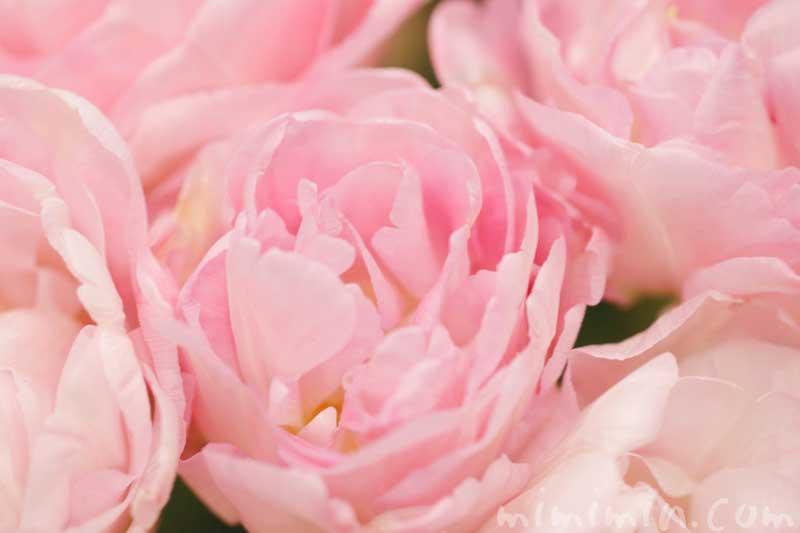八重咲きチューリップの画像