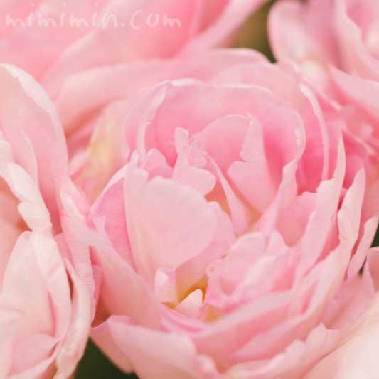 八重咲きのチューリップの花