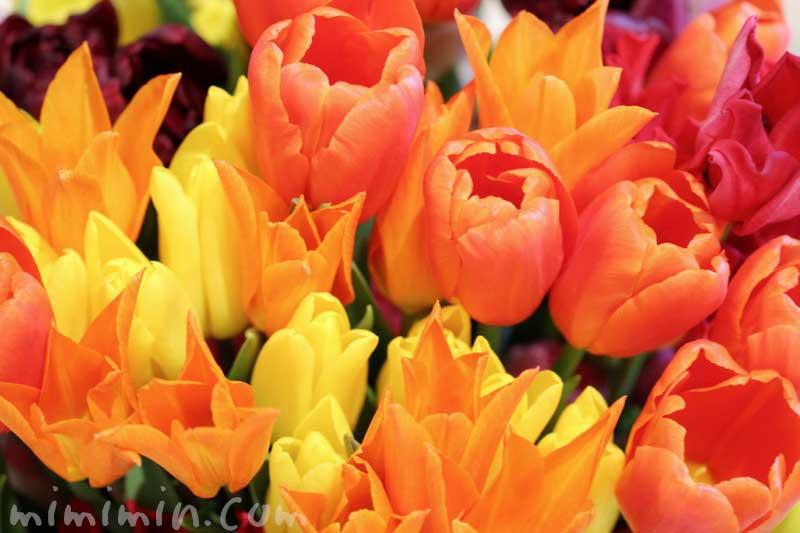 オレンジ色と黄色のチューリップ|となみチューリップフェアin恵比寿三越の画像