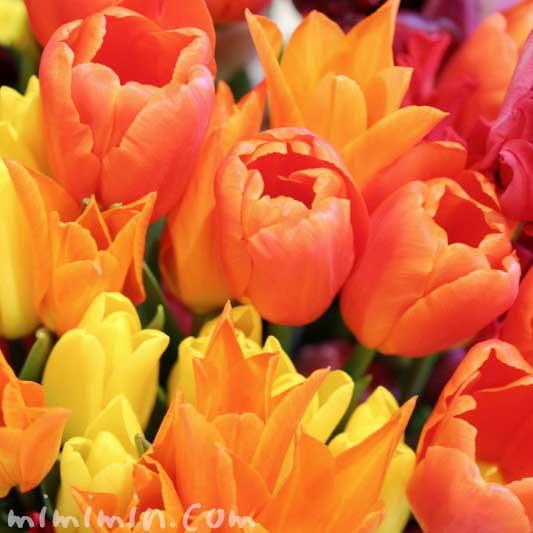 オレンジ色と黄色のチューリップの写真