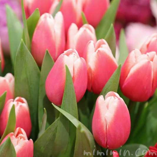 赤色のチューリップの花|となみチューリップフェアin恵比寿三越