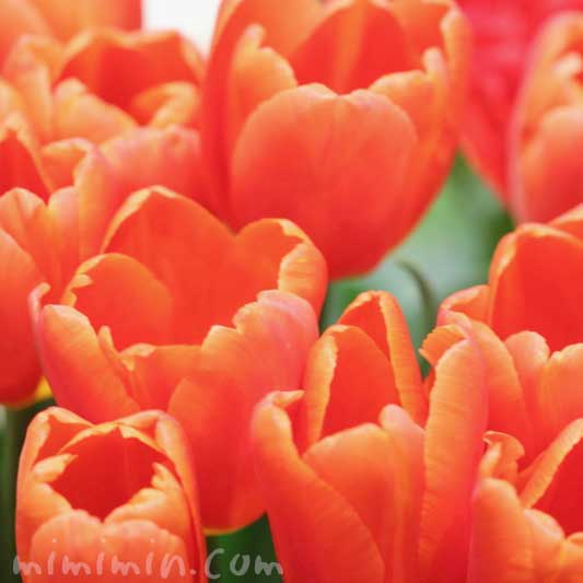 オレンジ色のチューリップの画像