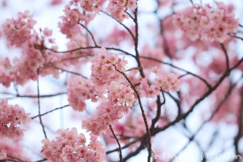 陽光桜の花の写真 花言葉(六本木ヒルズ 毛利庭園の桜)の画像