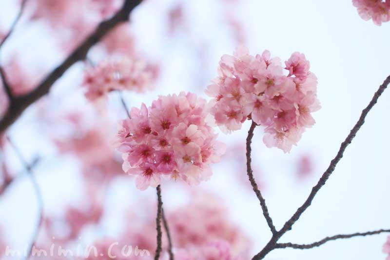 陽光桜の花の写真と花言葉(六本木ヒルズ 毛利庭園の桜)