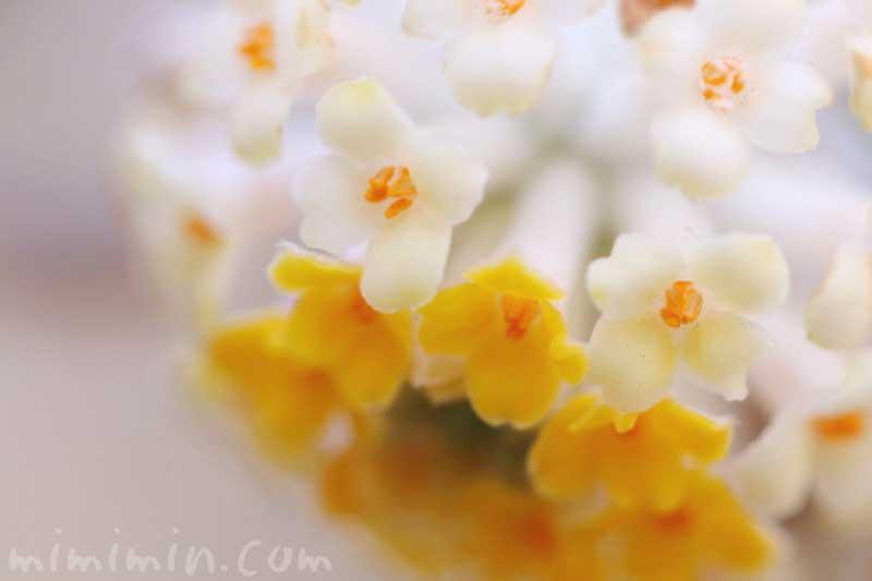 ミツマタの写真・花言葉の画像