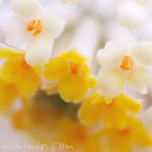 ミツマタ 花の写真と花言葉