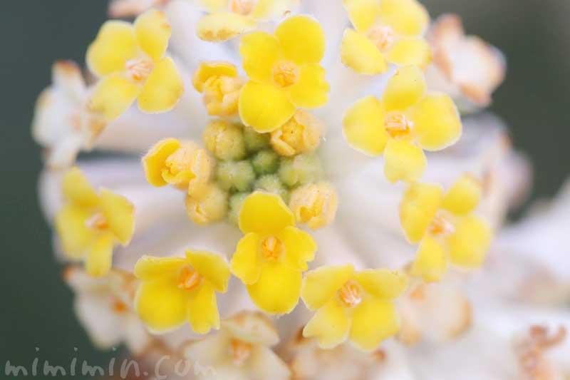 三椏の写真と花言葉の画像