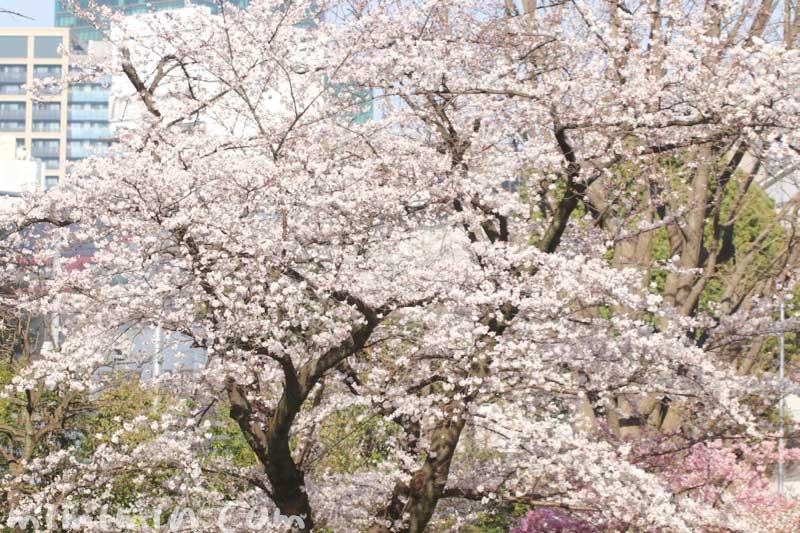 六本木ヒルズの桜の花| ソメイヨシノの画像