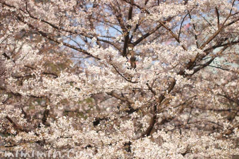 六本木ヒルズの桜の花| 毛利庭園のソメイヨシノ