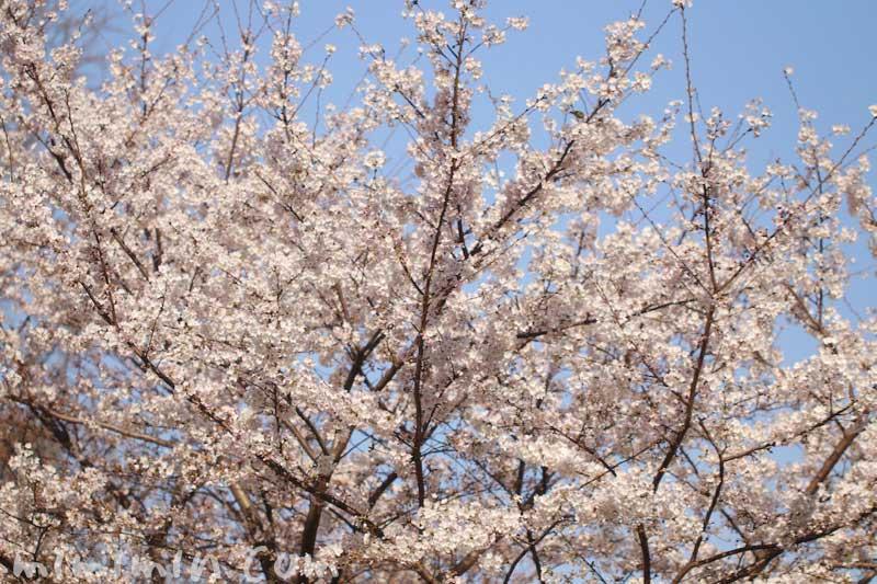 六本木ヒルズの桜の花| 毛利庭園 ソメイヨシノの写真