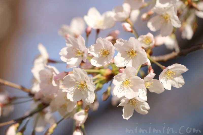 六本木ヒルズの桜| 毛利庭園のソメイヨシノの画像