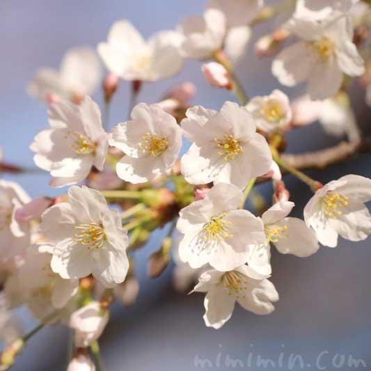 六本木ヒルズの桜の花  ソメイヨシノの写真