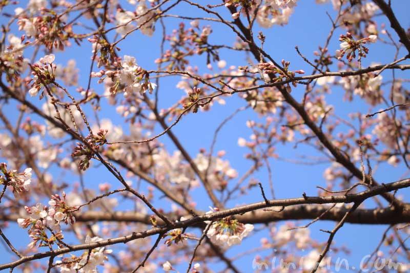 六本木ヒルズ 毛利庭園の桜の花のソメイヨシノ