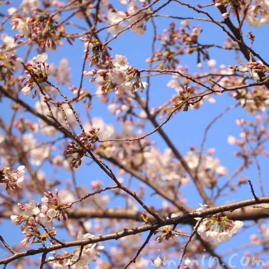 六本木ヒルズの桜  ソメイヨシノの画像